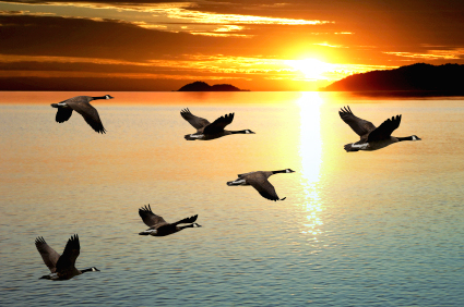 migrating canada geese